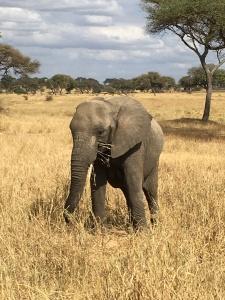 Elephant Serengeti