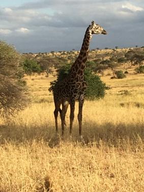 Giraffe Serengeti
