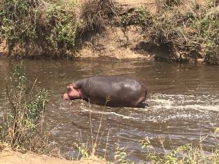 Hippo Serengeti