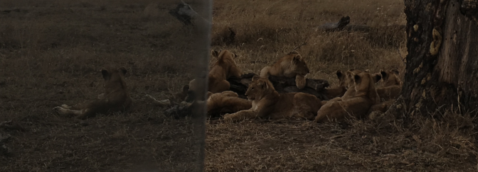 Lions out of my car window